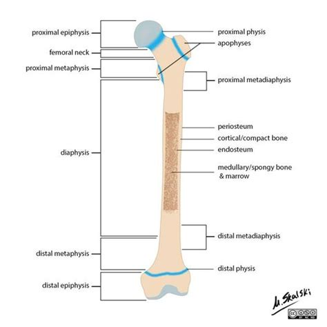 regions diagram the general anatomic regions of a bone are important