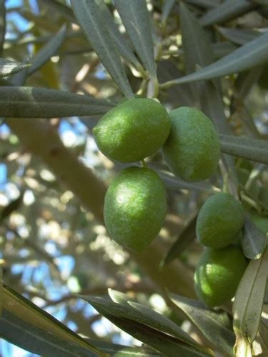 50 fruit tree picual olive trees 50mm pots fruit tree