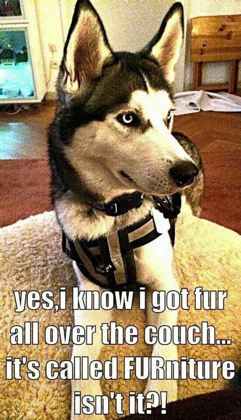Huskie Meme - husky fur meme funny animals