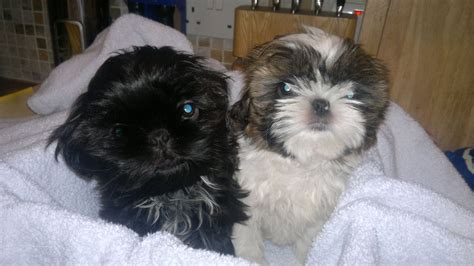 shih tzu 2 months 2 x 10 month shih tzu s and south ockendon essex pets4homes