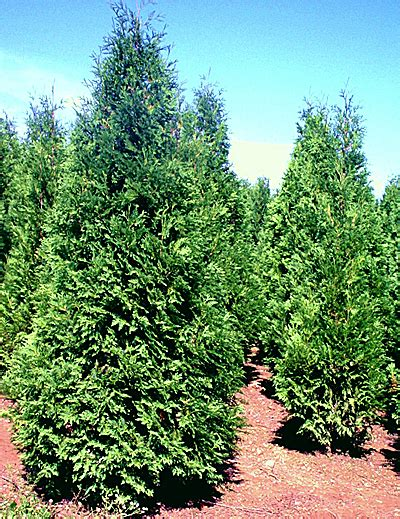 many types of arborvitae available to fill your needs living bangor daily news bdn maine