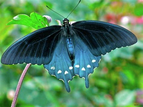 black butterfly black butterfly images reverse search