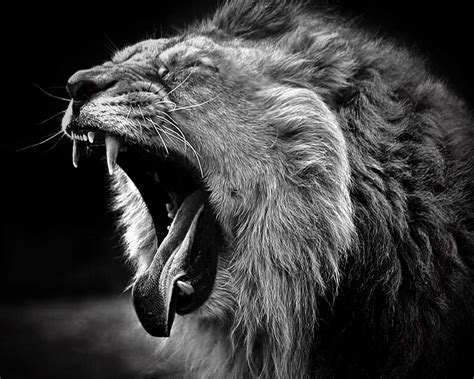 wallpaper black lion lion black and white widescreen background wallpapers 6375