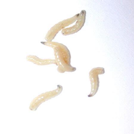 maggots in house true flies saint louis zoo