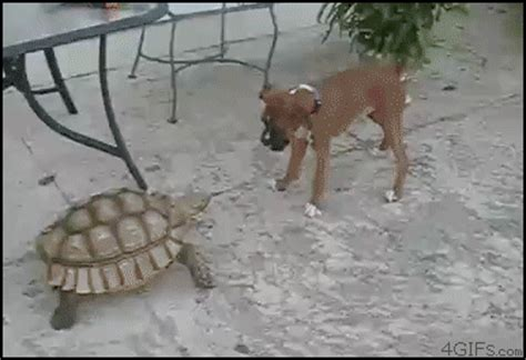 Cat And Dog5 Komik turtle gifs find on giphy