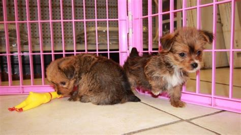 teacup yorkie puppies for sale in macon ga teacup yorkie poo ga breeds picture