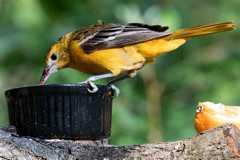 oriole bird feeding tips for your yard