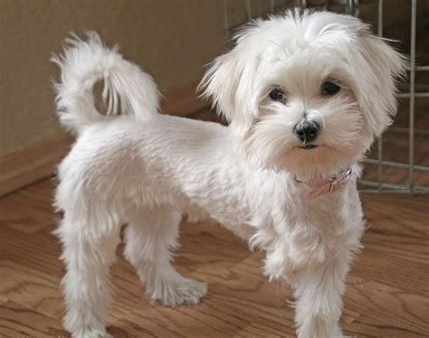 poodle mix dog hair cut gallery for gt maltipoo haircut pictures for the love of