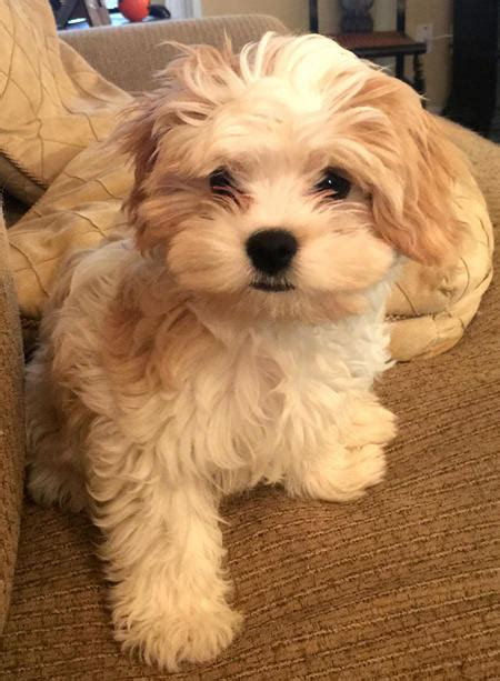 havanese mixed with yorkie havanese breeders breeds picture