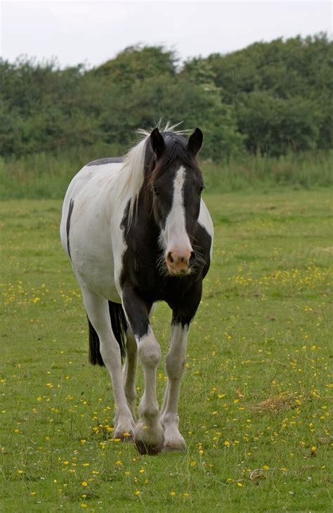 Kuda Pony Putih L gambar alam berjalan putih bidang padang rumput hijau penggembalaan binatang menyusui