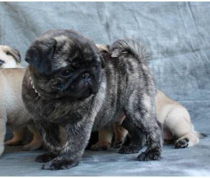 akc pugs stunning akc brindle pug puppy pugs pug