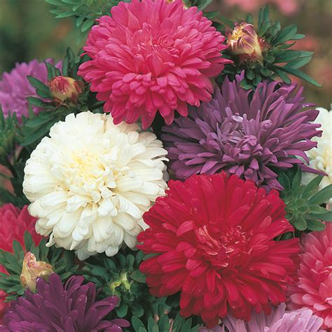 Benih Mr Fothergills Aster Ostrich Feather aster of the market mixed seeds from mr fothergill s