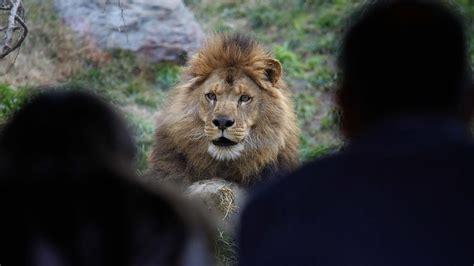imagenes de leones en zoologico hombre ingresa a jaula de leones