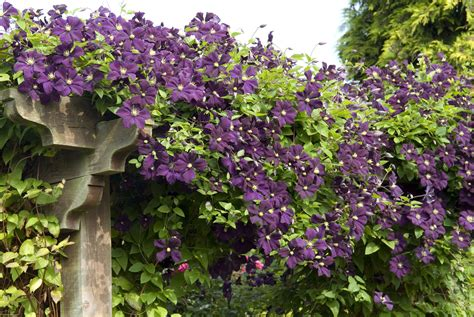 Clematis Viticella Etoile Violette 4887 by Michael King Garden Photographer S Association