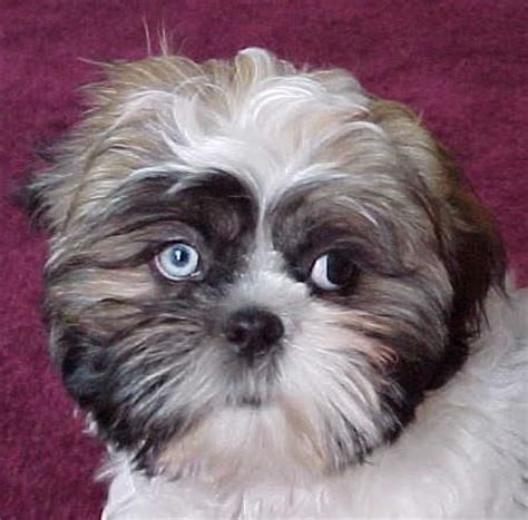 shih tzu blue travis pup shih tzu one blue eye one brown my puppies shih tzu