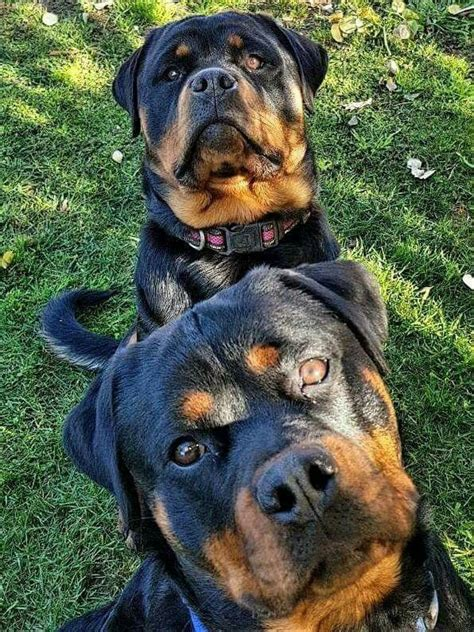 rottweiler puppies for sale in nc craigslist best 25 german rottweiler ideas on rottweiler puppies for sale german