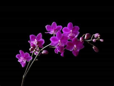 orchidea linguaggio dei fiori significato fiori orchidea significato fiori orchidea