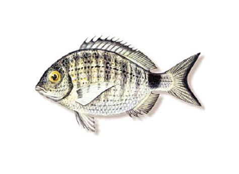 cucinare sarago specie ittiche in cucina sarago diplodus sargus linnaeus