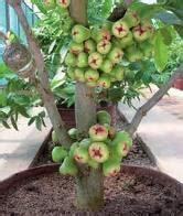 Jual Pisau Cangkok cara cara mencangkok pohon jambu jurioantonio s