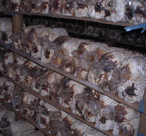 jamur tiram putih mengatasi penyakit menghitamnya kembali