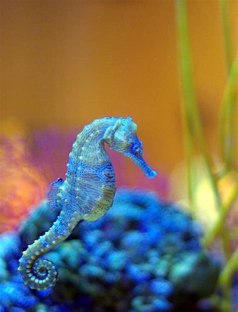 seahorse colors seahorse is the title given to 54 species of marine fish