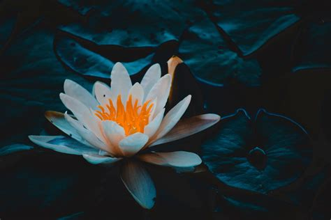stock photo  pond water lily