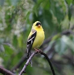 yellow finch song birds pinterest