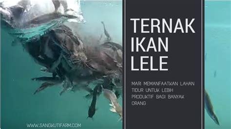 Bibit Lele Sangkuriang Purworejo melihat lele dari bawah permukaan air di kolam fiber