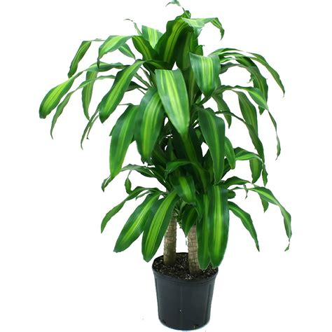 buy large house plants online emejing live indoor plants gallery interior design ideas angeliqueshakespeare com