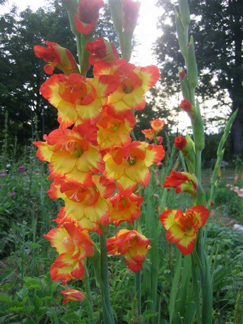 imagenes flores gladiolos gladiolos naranjas im 225 genes y fotos