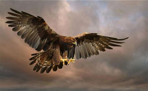 wallpaper elang emas aigle royal wallpaper aigle pinterest aigle faucon