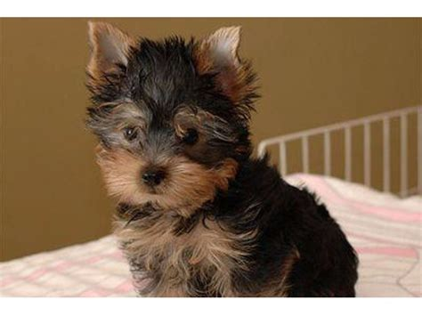 teacup yorkies for sale ontario purebred tiny yorkie puppies for sale animals ontario california announcement