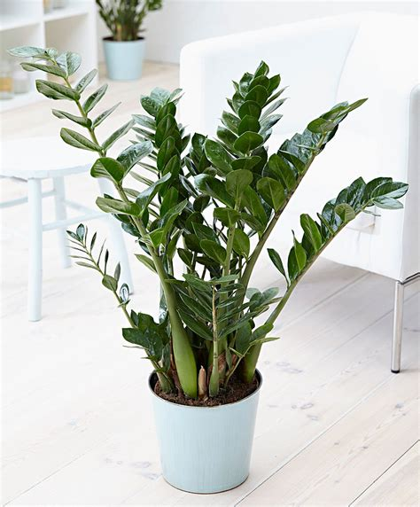 buy house plants buy house plants now zanzibar gem bakker com