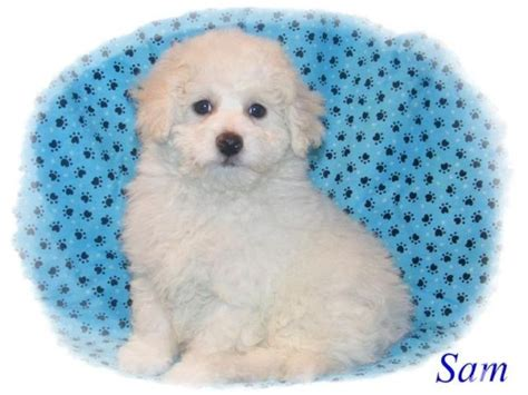 free puppies lansing mi maltipoo puppy looking for for sale in lansing michigan classified