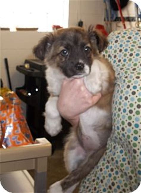 australian shepherd puppies columbus ohio abby adopted puppy columbus oh australian shepherd golden retriever mix