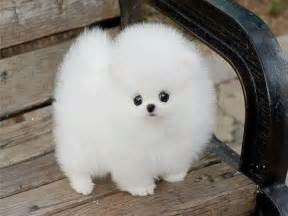 White Fluffy by White Fluffy Puppy Puppies Picture