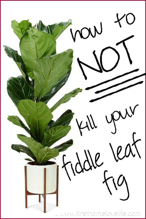 Home Depot Holiday Decor by Fiddle Leaf Fig Care First Home Love Life