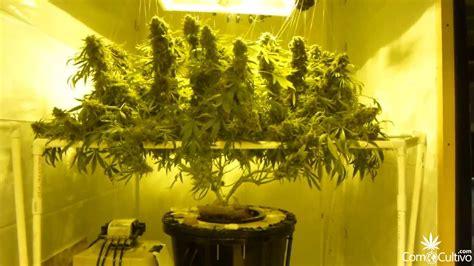 poda marihuana interior 10 beneficios de un cultivo con scrog c 243 mocultivo