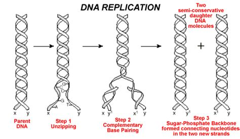 each human chromosome is replicated in about sections standard note