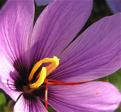 la flor del azafrn caracteristicas azafran remedios naturales azafr 225 n la flor