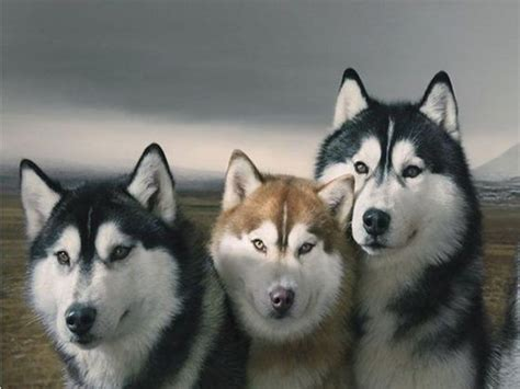 Huskies Turkis what color siberian husky are you playbuzz