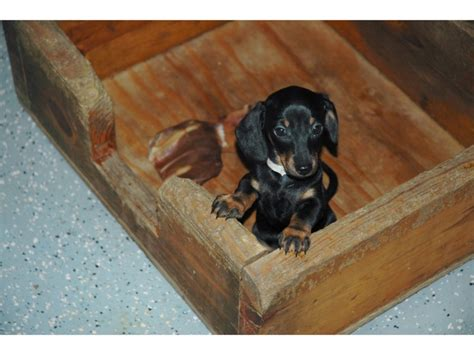 miniature dachshund puppies indiana 1000 ideas about dachshunds for sale on weenie dogs wiener dogs and baby