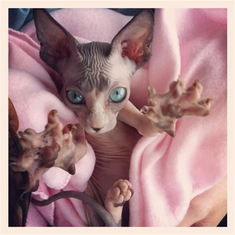 Hairless Cat Meme - scary hairless cat pictures www imgkid com the image