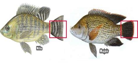 Bibit Ikan Mujair Nila perbedaan dan ciri ciri ikan nila jantan dan betina