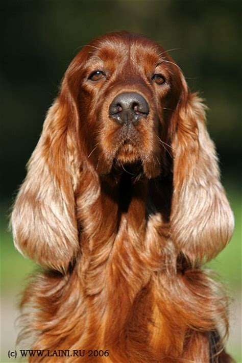 setter dogs 101 17 best images about irish red setter on pinterest irish