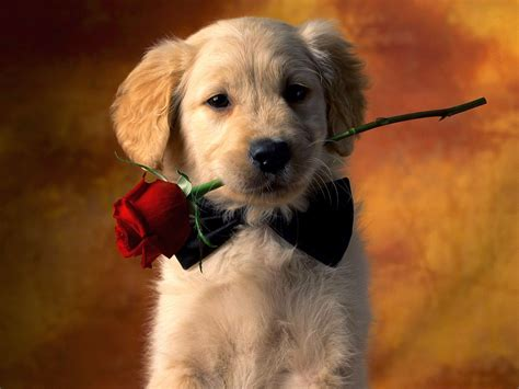 how to love your dog golden retrievers rules of the jungle golden retriever puppies