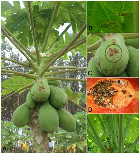 papaya plant diseases viruses free text a current overview of the