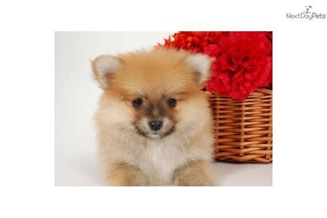 teddy pomeranian price pomeranian puppy for sale near washington dc 2aeee6d4 f2e1
