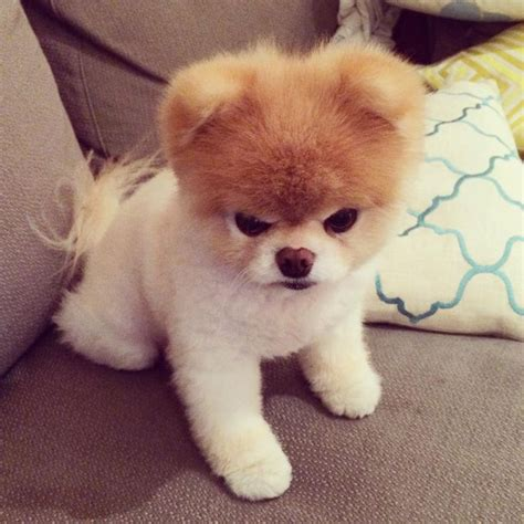 angry pomeranian angry of boo boo buddy the pomeranians cutest dogs harp seal