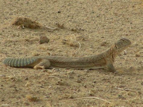 thar desert animals saara hardwickii wikipedia